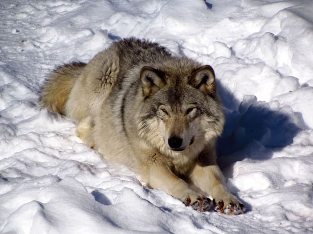 Due to previous attempts to exterminate the eastern wolf population, many eastern wolves now call animals parks, like Park Omega in Quebec home.