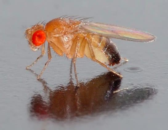 A small male Drosophila melanogaster fly