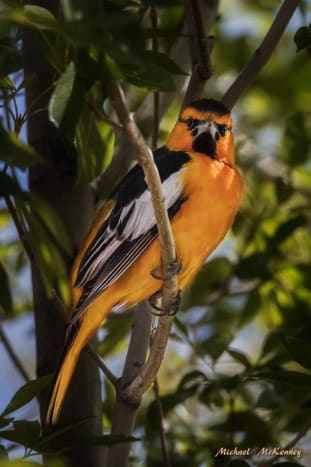 A Bullock's oriole photographed in our back yard in Rio Rancho, New Mexico.