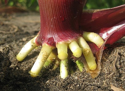 Prop roots of maize grow from the lower portion of the stem and prop up the tall plant.