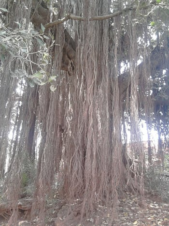 Not all roots are underground; some plants have aerial roots.