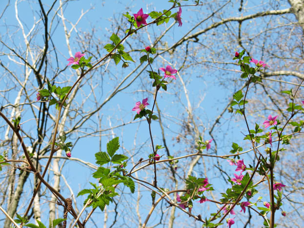 The flowers of salmonberry plants start to open up even before the leaves appear.