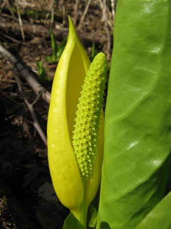The spathe and spadix of a skunk cabbage