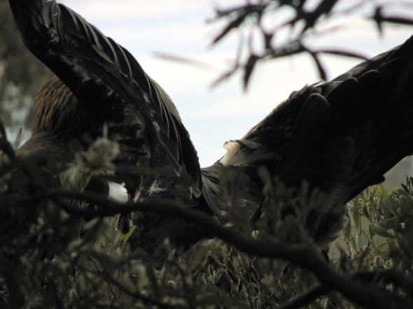 A Tasmanian Wedge-Tailed Eagle Stretching Its Wings