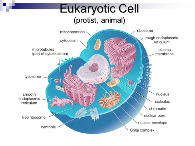 This diagram shows what a typical eukaryotic animal cells looks like.
