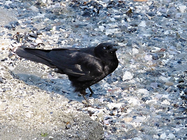 A northwestern crow in Stanley Park