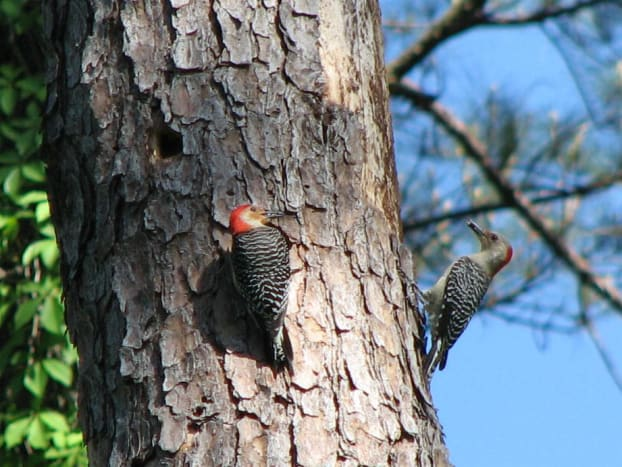 Male and female red-bellied near the nesting cavity.