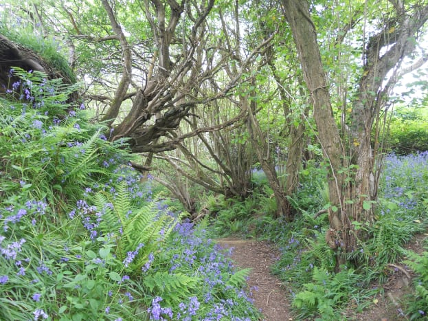 Pictured here are some bluebell woods in Dorset.