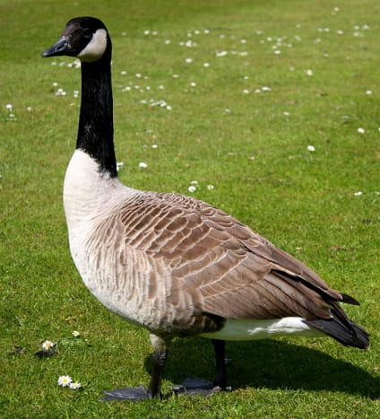 The Canada goose is along, with the mallard the most easily recognisable wildfowl species. It was introduced into Britain during the 17th century.