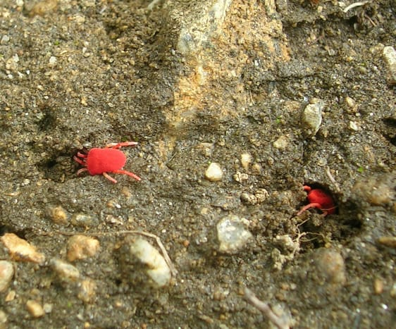 Red Velvet Mites, from Munsiyari, the Central Himalayas, India
