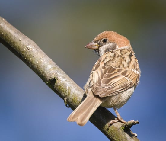 A tree sparrow perched on a branch