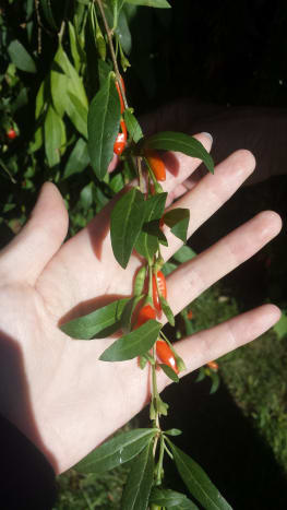 Fresh, ripe goji berries