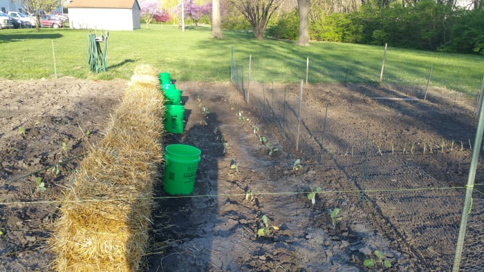 Bales with my warm water buckets and some broccoli and cabbage planted in the soil the normal method.