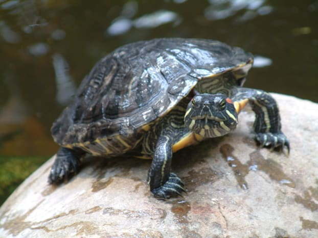 What Red Eared Sliders eat is pretty much the same as painted turtles.