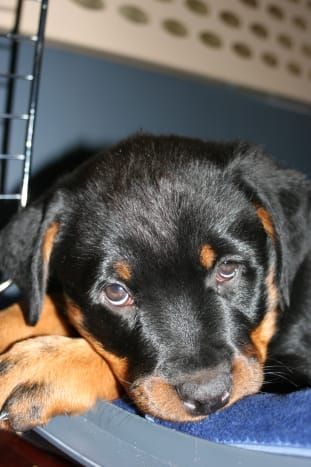 Rottweiler puppy in a crate.