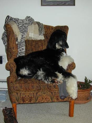 Afghan hound being energetic.