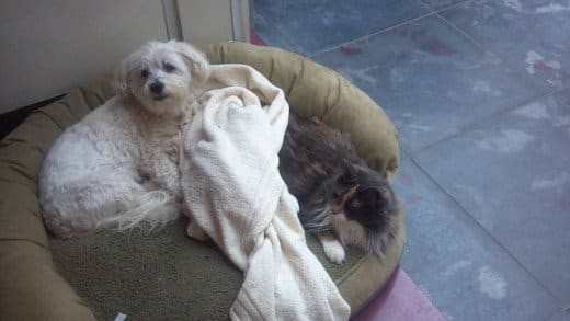 Maltese dogs are so small they can share any space with a cat.