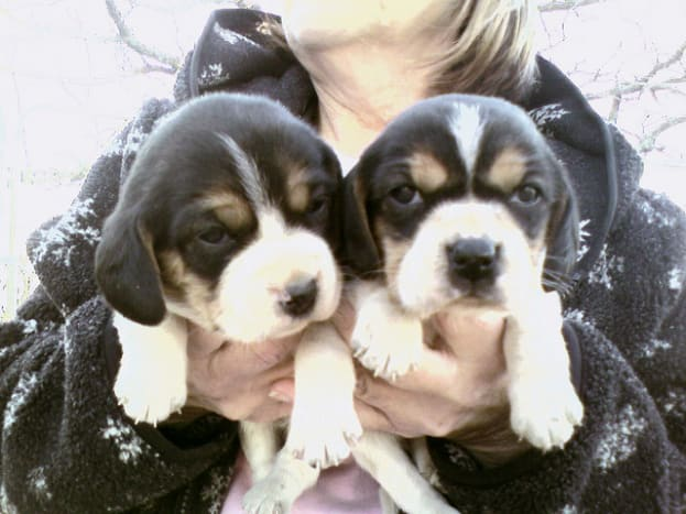 Beagles are cute when they are puppies.