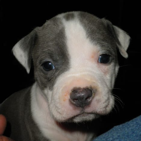 American Staffordshire Terriers aka Pit Bull puppies
