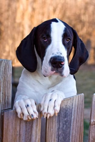 Most Great Dane puppies will not last ten years.