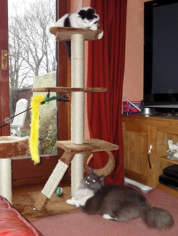 Greebo and Dippy play on the cat tree and with dangly things on sticks (cat toys).