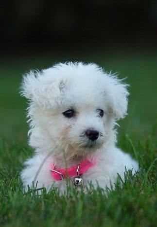 A Bichon puppy looking hypoallergenic.