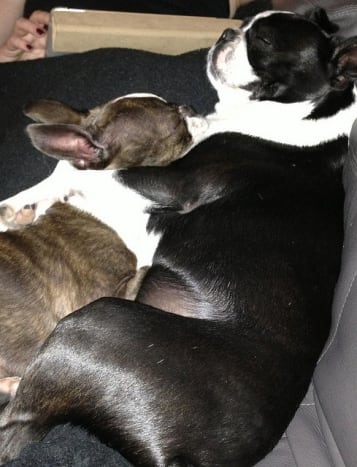 Sleeping Boston terriers have even less reason to bark.