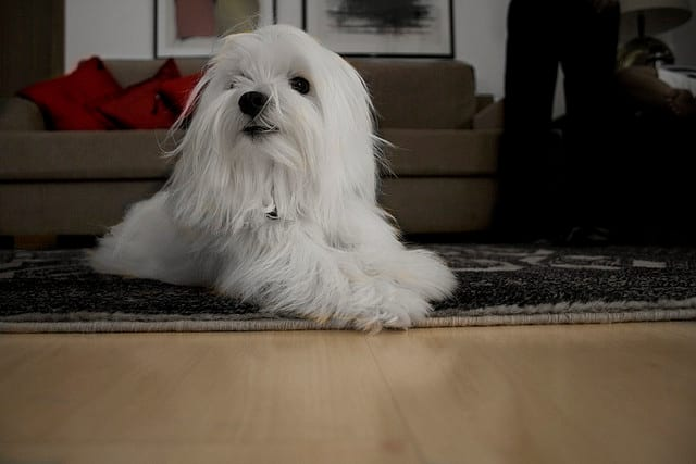 Some Maltese have even been known to sit on the ground, but only when carpeted.