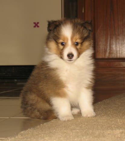 A Sheltie puppy.