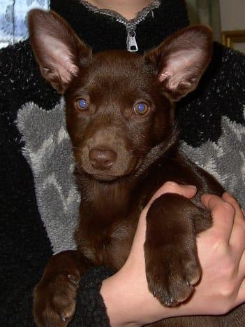 The Kelpie, a working dog from Australia.