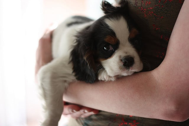 Cavalier King Charles Spaniels like to be cuddled.