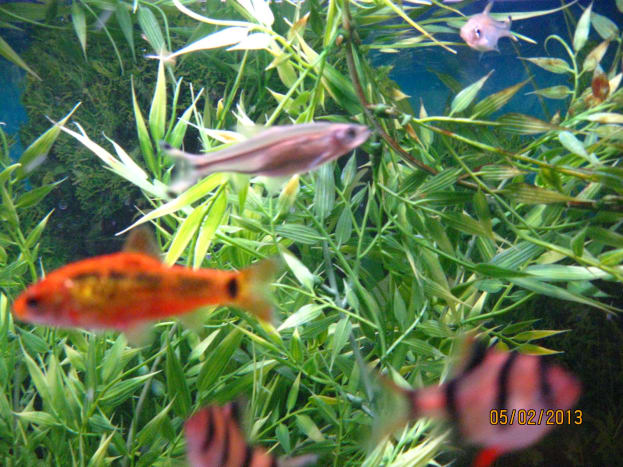 Gold Barb at left of photo