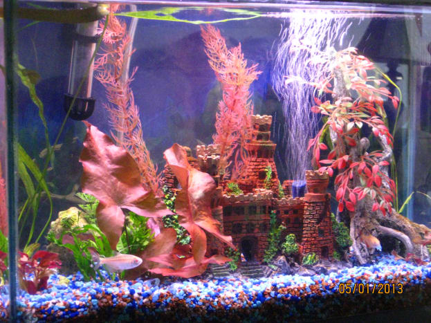 My 10-gallon aquarium with Buenos Aires Albino Tetras