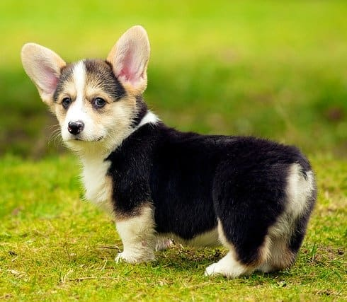 Is it the ears? The tiny tail? The stumpy legs? Corgis are the cutest!