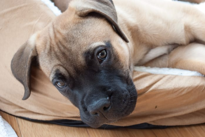 Bullmastiffs may look tough but they are sensitive and sweet.