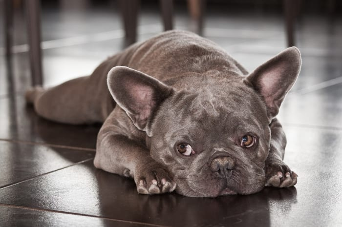 With nothing better to do, your Frenchie might choose to take a nap.
