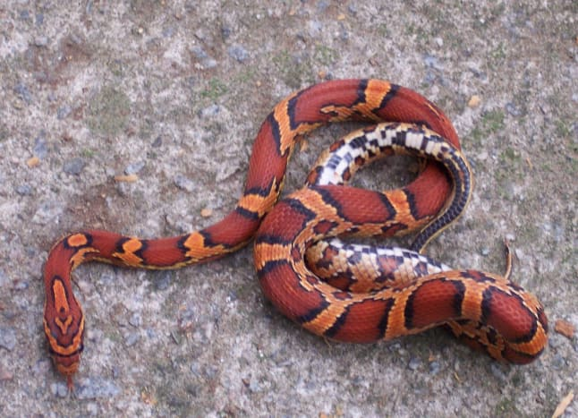 This Okeetee corn snake has striking coloration.