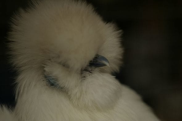 Beautifully crested silkie