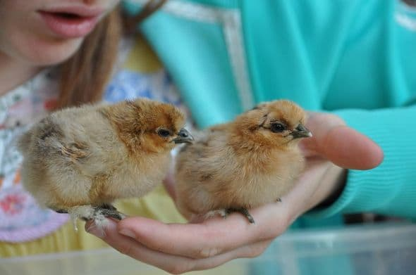 5 day-old chicks