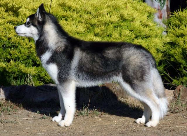 """The """"plush"""" coat of this Siberian adheres to the breed standard."""