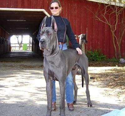 A full-grown Great Dane.