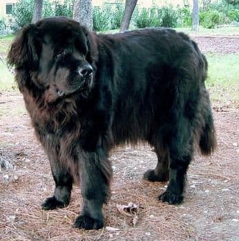 A Newfoundland dog.