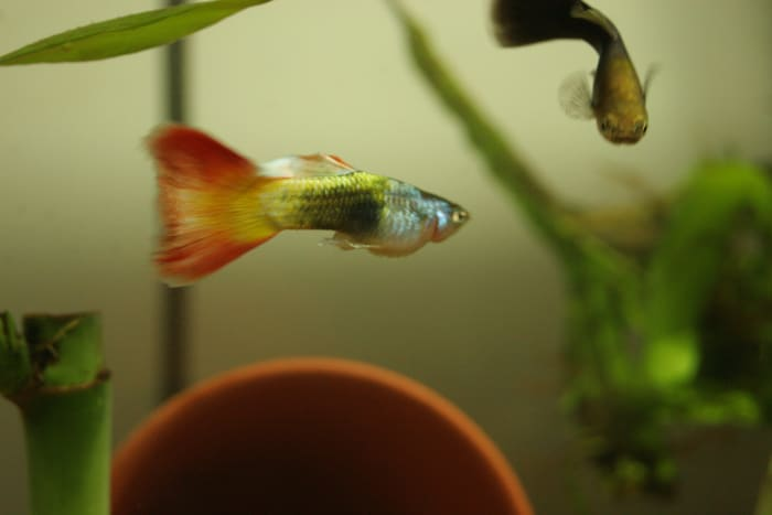 Guppies are peaceful community fish that are compatible with african dwarf frogs.