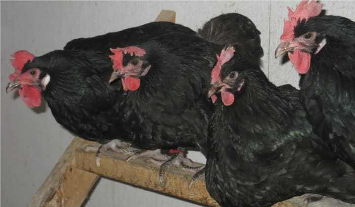 Heavy Black Penedesenca Pullets