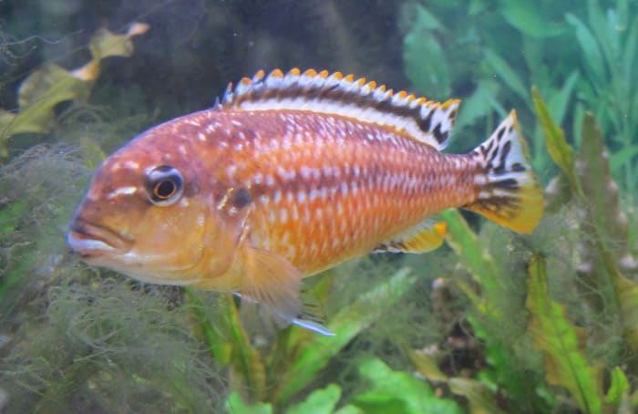 Lake Malawi cichlids come in a range of vibrant colours. From pinkish-orange . . .