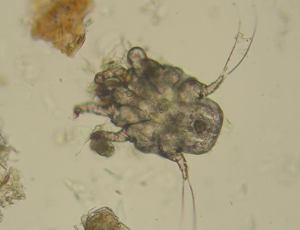 Otodectes cynotis—the canine ear mite.