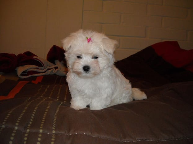 Maltese puppies do not have much hair to comb.