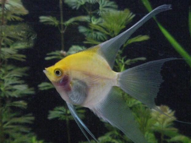 Goldcap/Sunset Blushing Angelfish