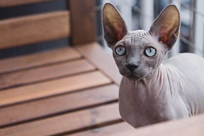 Sphynx cats are known for their friendly personalities and unique aesthetics.