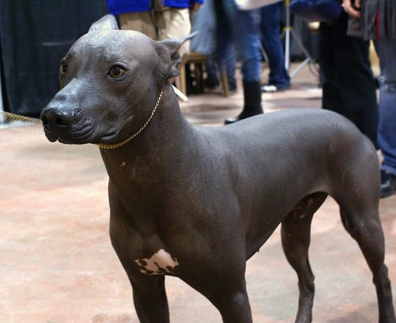 Xoloitzcuintli is one of several hairless dog breeds on the modern pet market.